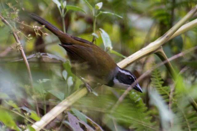 Caracas Brushfinch