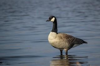 Cackling Goose, ML320541601