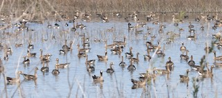 Greater White-fronted Goose, ML320814251