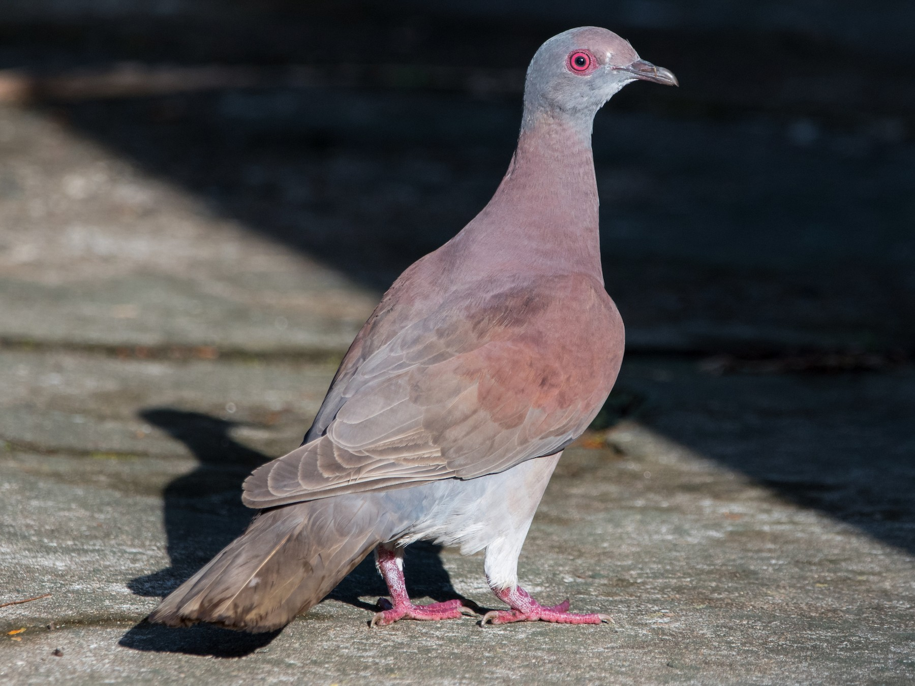 Pale-vented Pigeon - Brian McGee