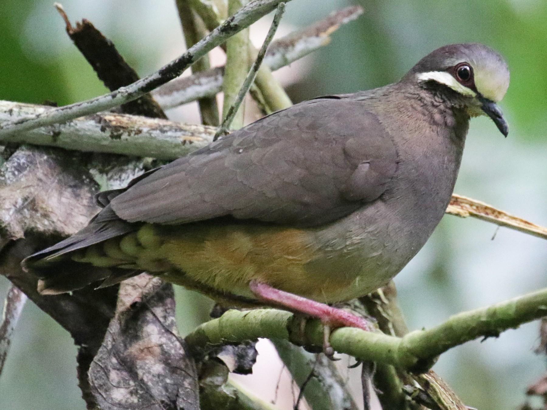 Olive-backed Quail-Dove - Cameron Eckert