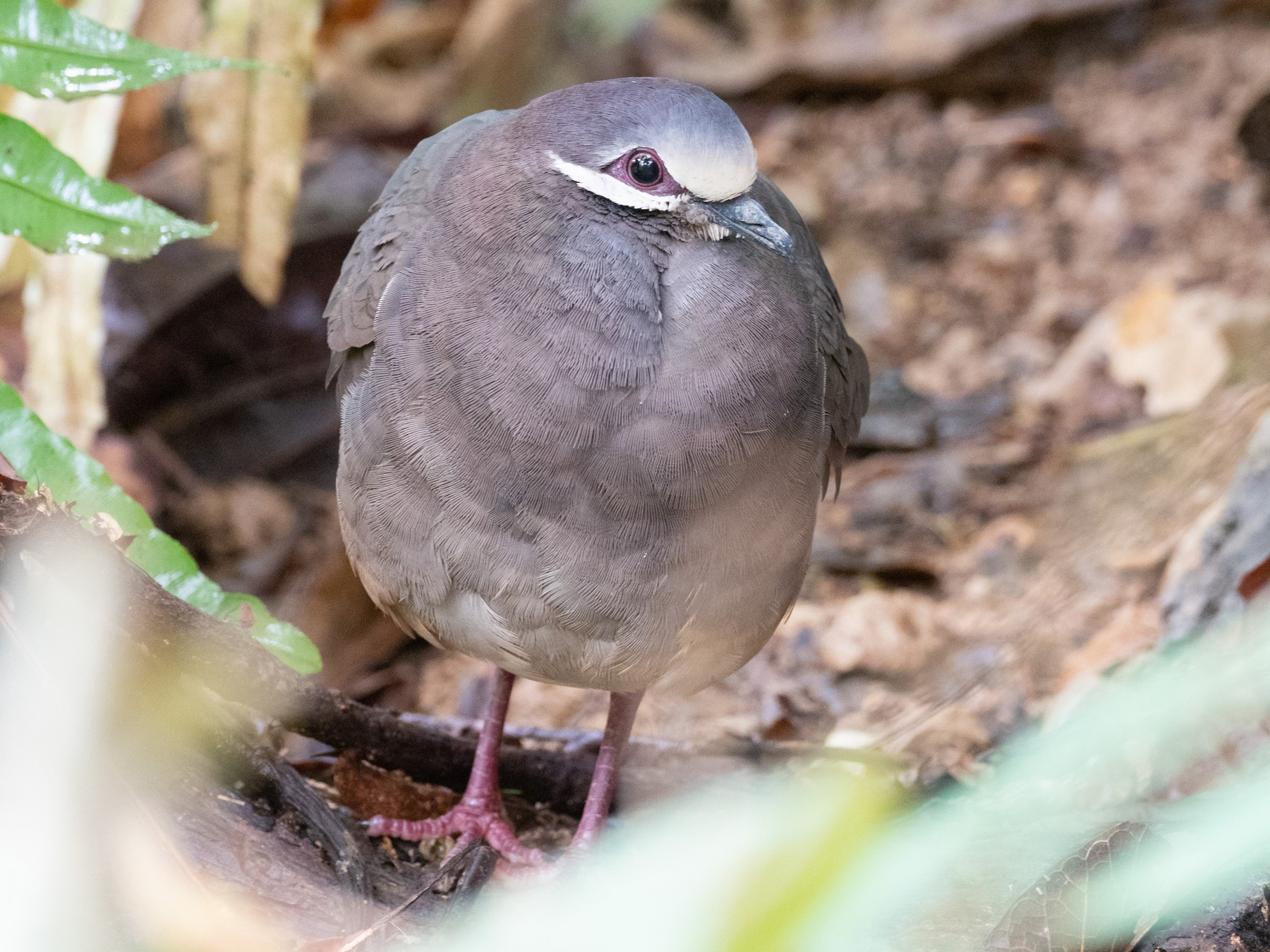 Olive-backed Quail-Dove - Jan Allen