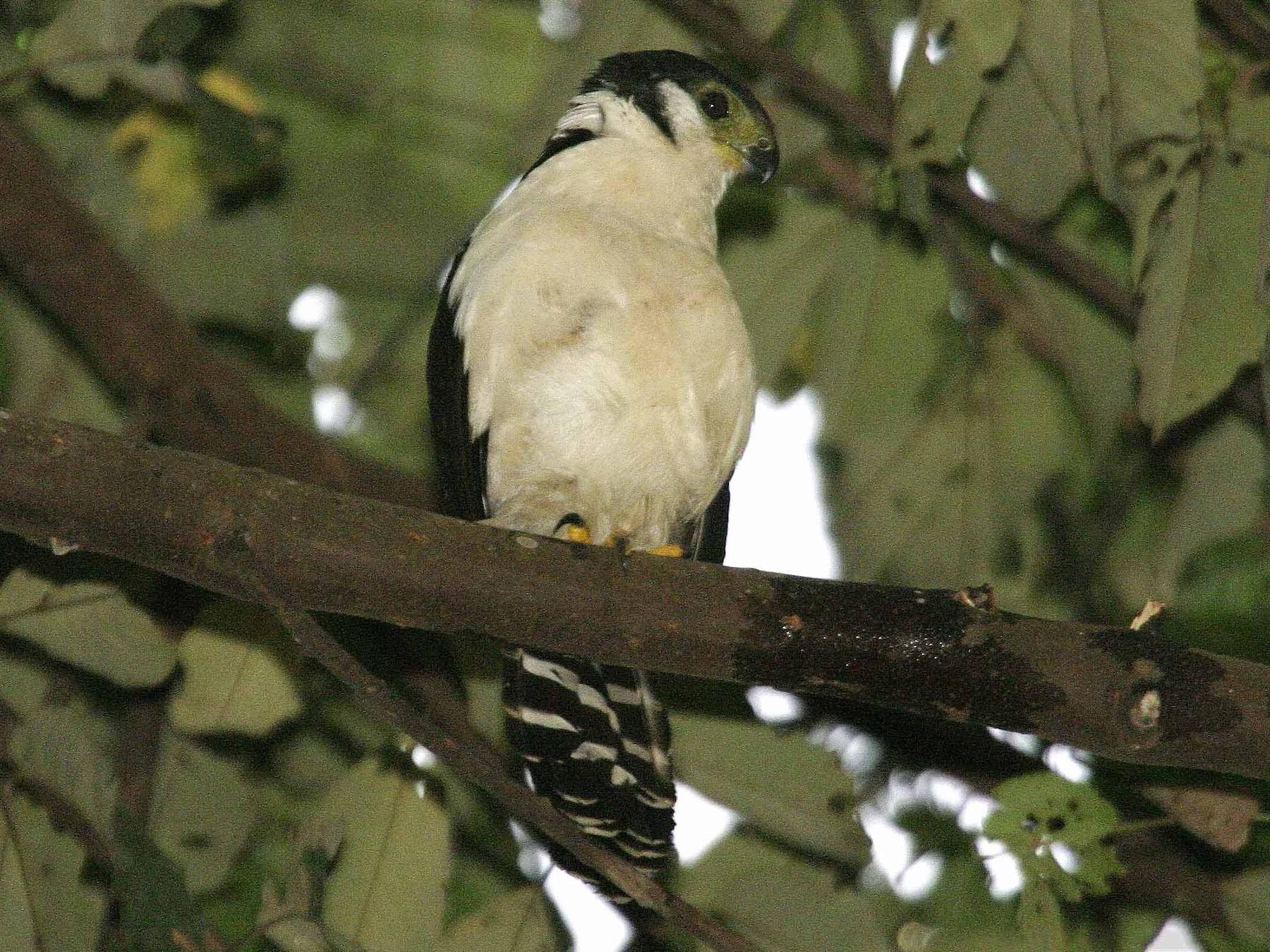 Buckley's Forest-Falcon - Joseph Tobias