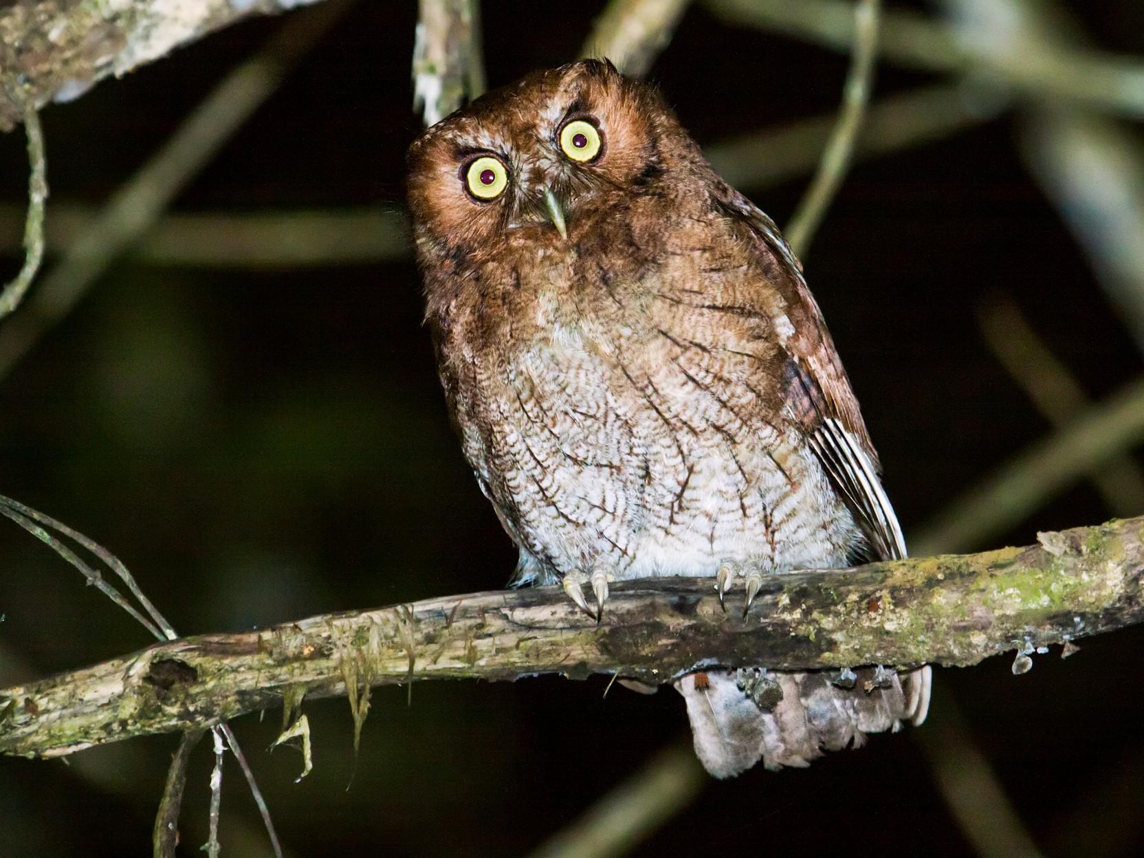 Santa Marta Screech-Owl - Nick Athanas