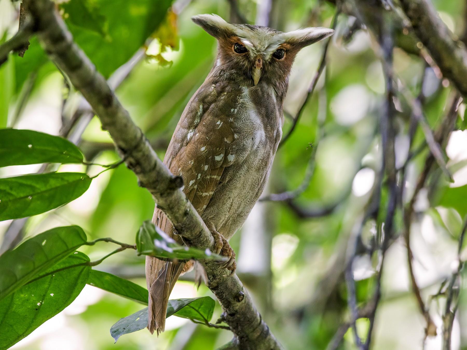 Crested Owl - Nick Athanas
