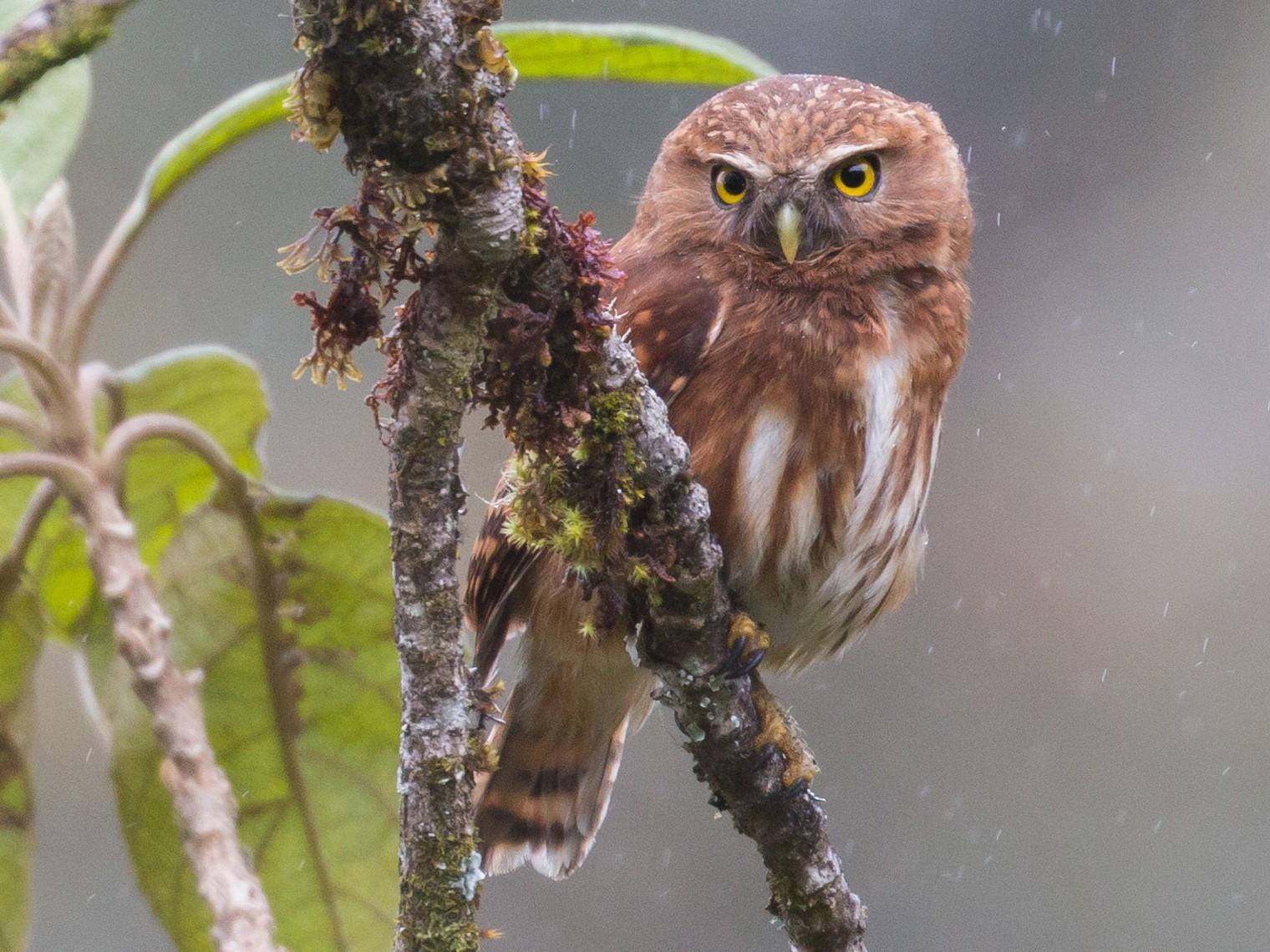 Andean Pygmy-Owl - Patrick Van Thull