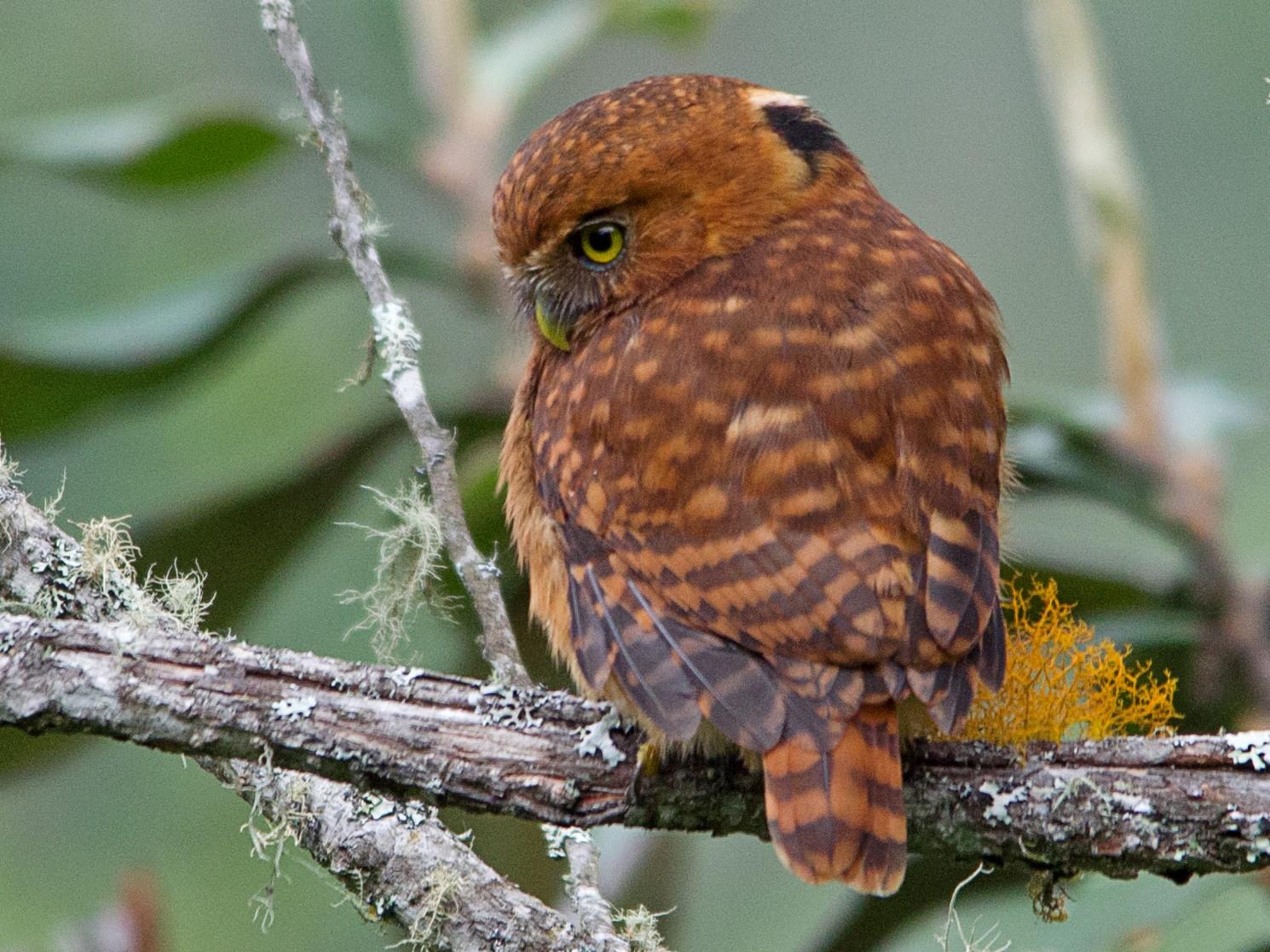Andean Pygmy-Owl - Jaen Anderson Muñoz
