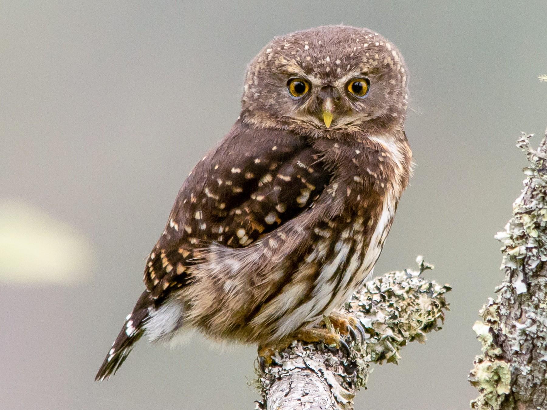Andean Pygmy-Owl - Christiana Fattorelli