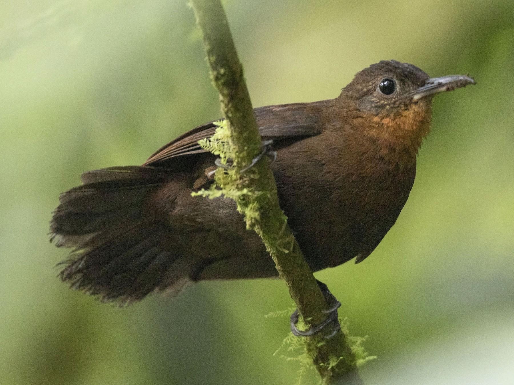 Tawny-throated Leaftosser - Guillermo  Saborío Vega