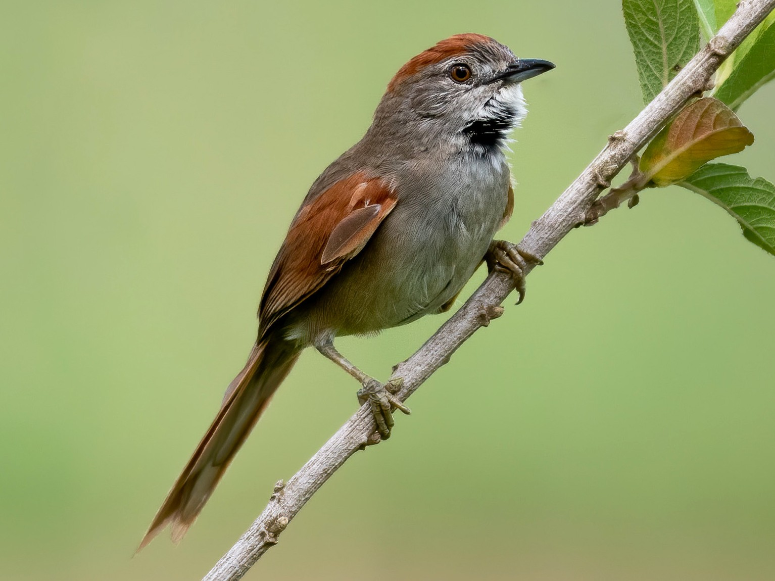 Pale-breasted Spinetail - David Carmo