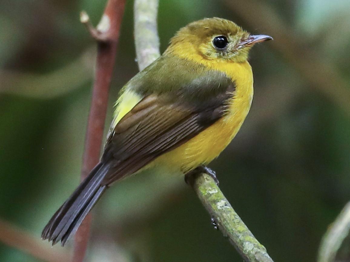 Sulphur-rumped Flycatcher - Aaron Juan