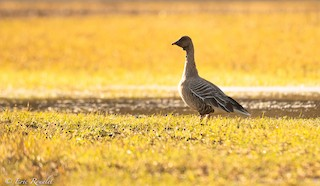 Pink-footed Goose, ML321026361