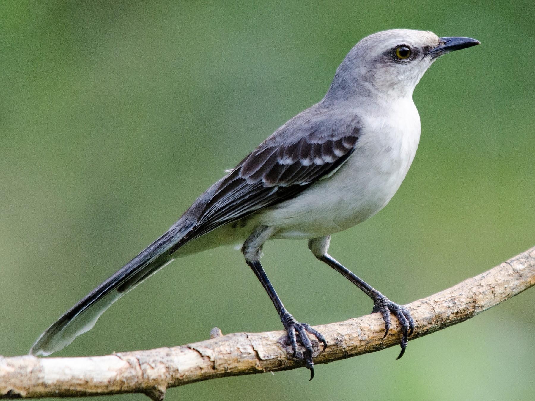 Tropical Mockingbird - Brian McGee