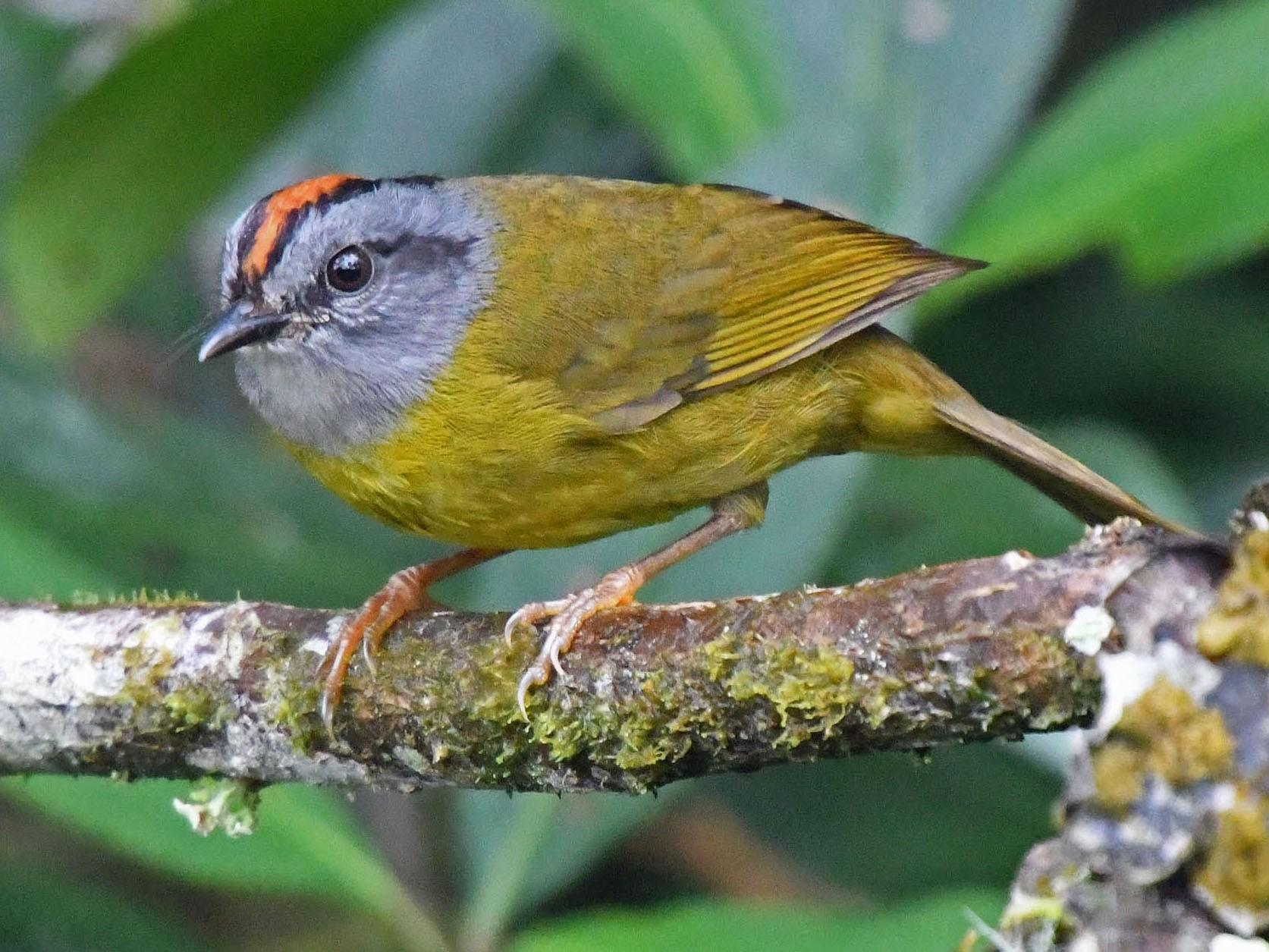 Russet-crowned Warbler - Tini & Jacob Wijpkema