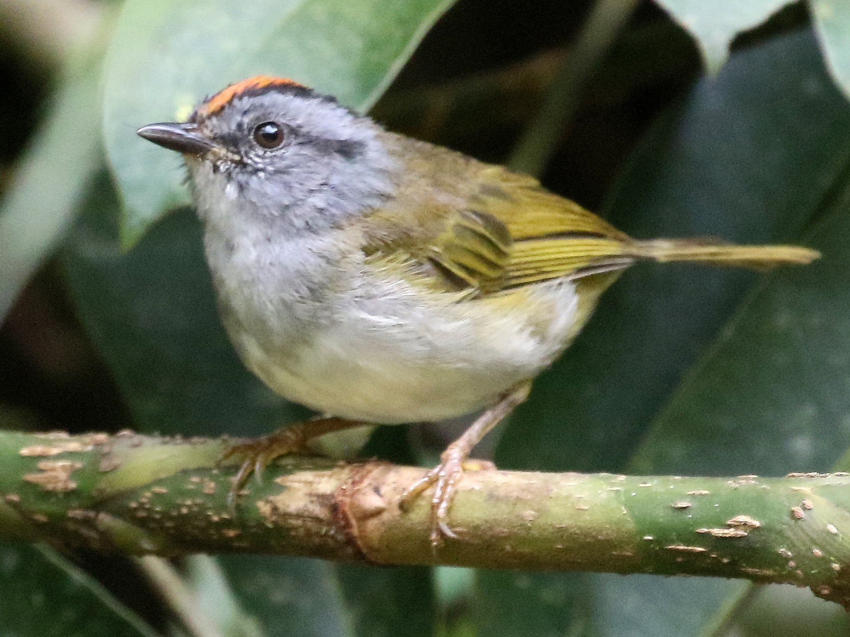 Russet-crowned Warbler - Charlotte Byers
