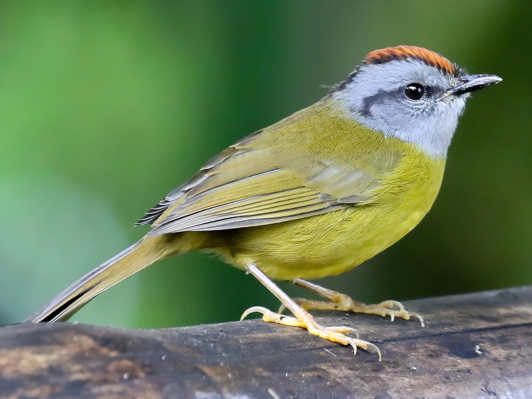 Russet-crowned Warbler - Michael O'Brien
