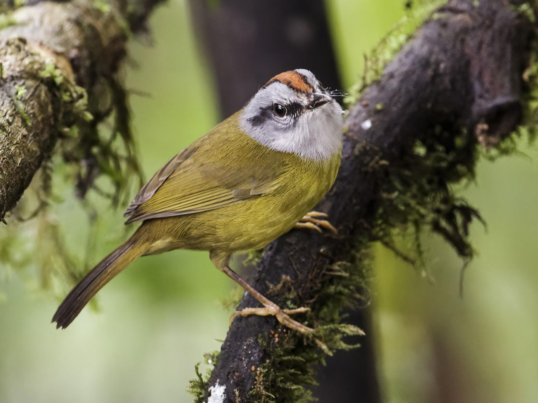 Russet-crowned Warbler - Nick Athanas