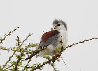 - Pygmy Falcon
