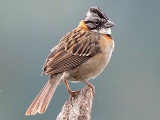 - Rufous-collared Sparrow