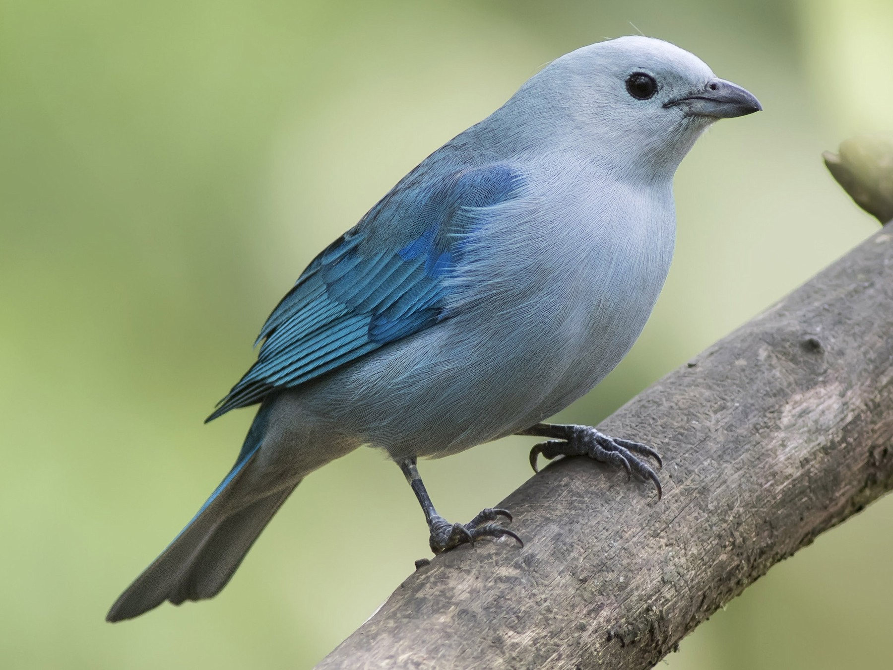 Blue-gray Tanager - Guillermo  Saborío Vega