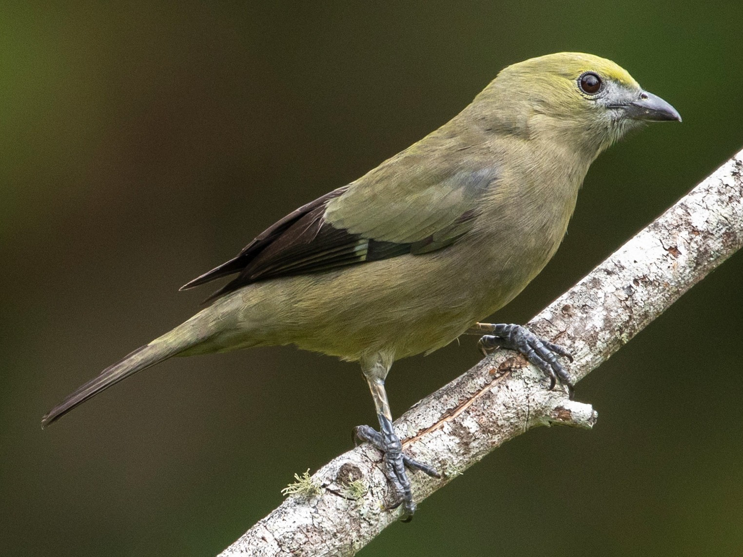 Palm Tanager - Louis Bevier