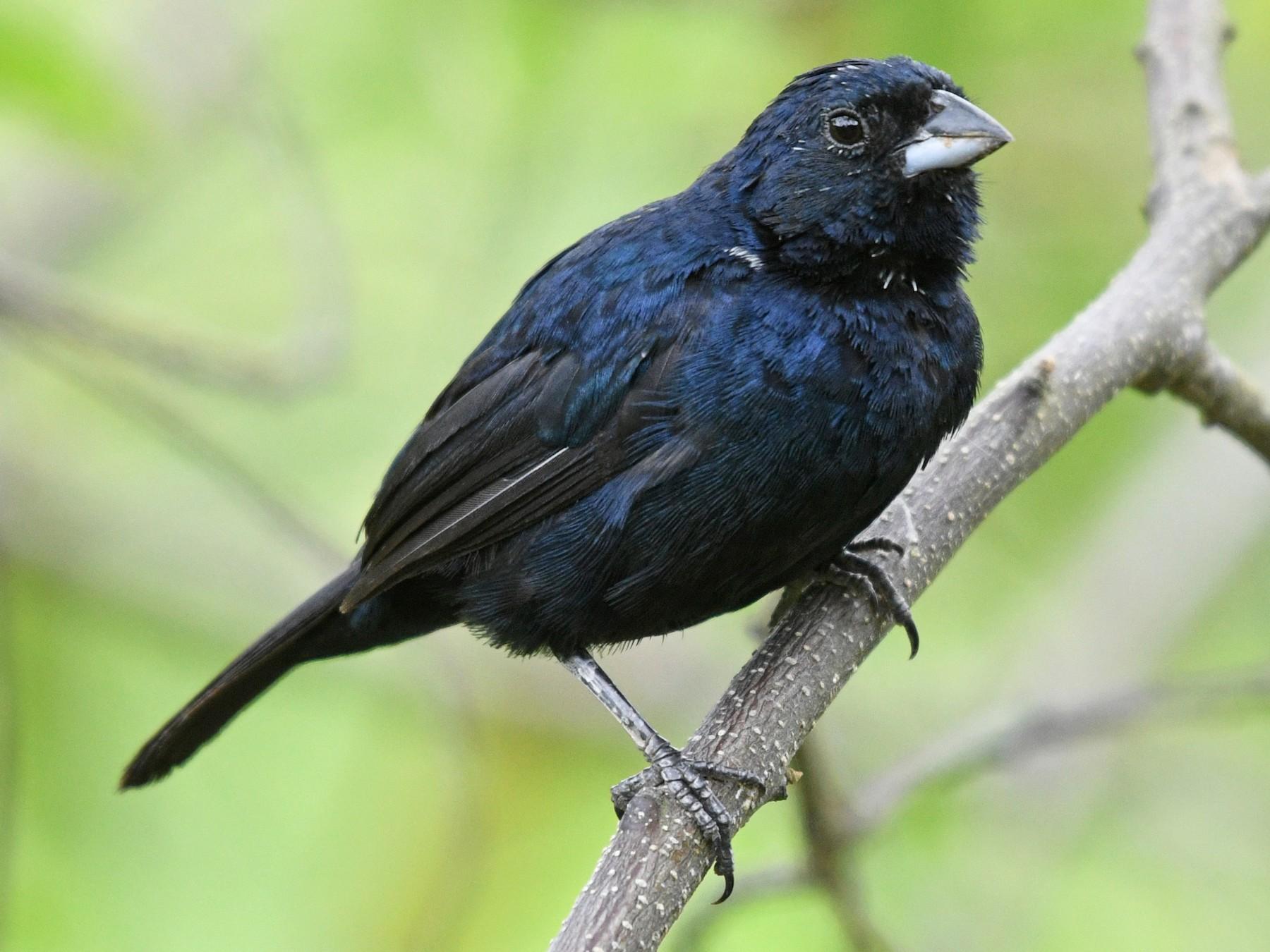 Blue-black Grassquit - Josanel Sugasti