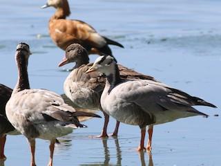 Graylag Goose, ML321199781