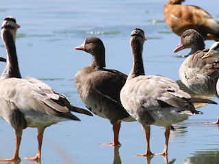 Greater White-fronted Goose, ML321199801