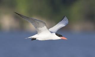 - Caspian Tern
