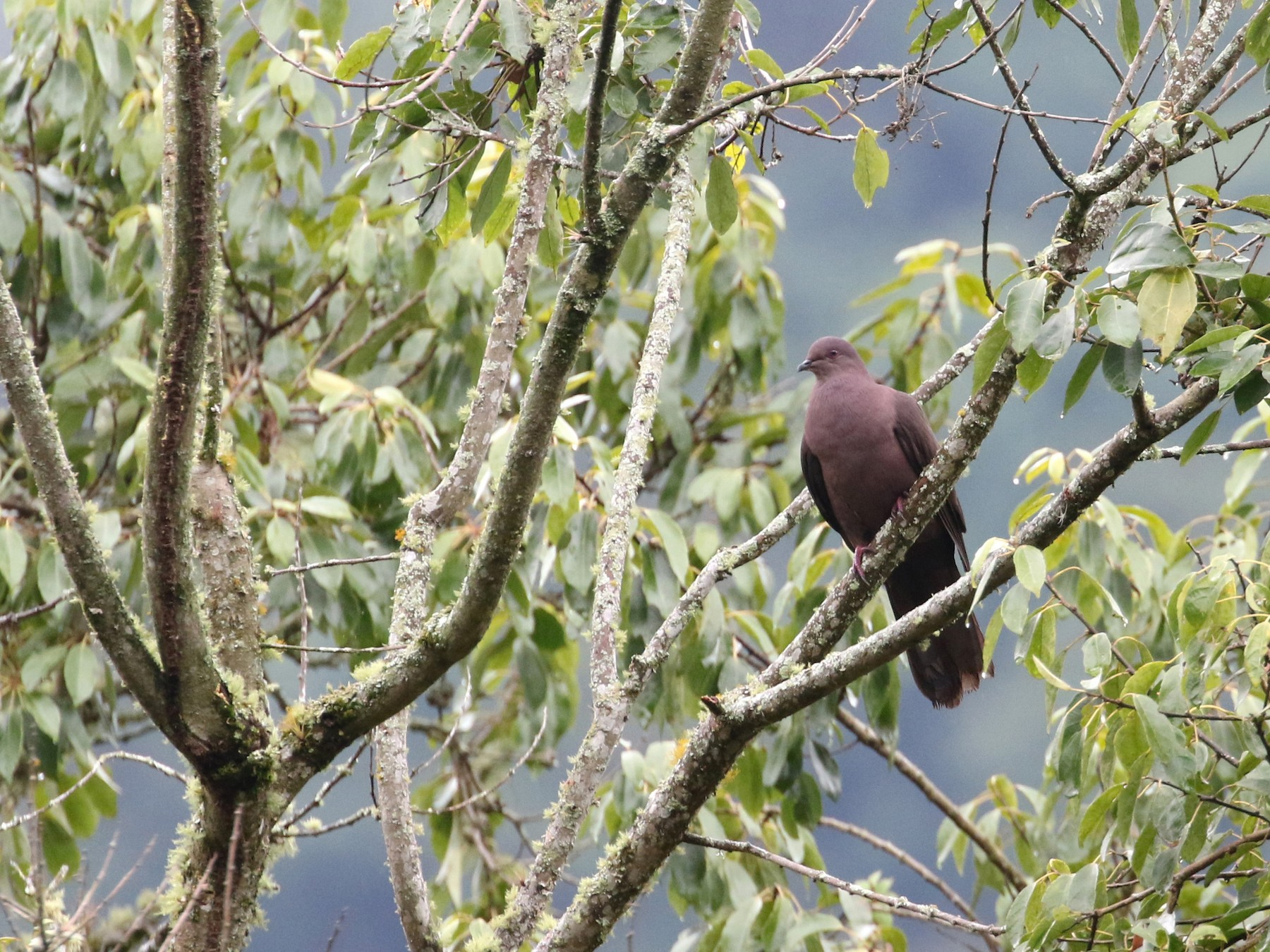 Ruddy Pigeon - Daniel Branch