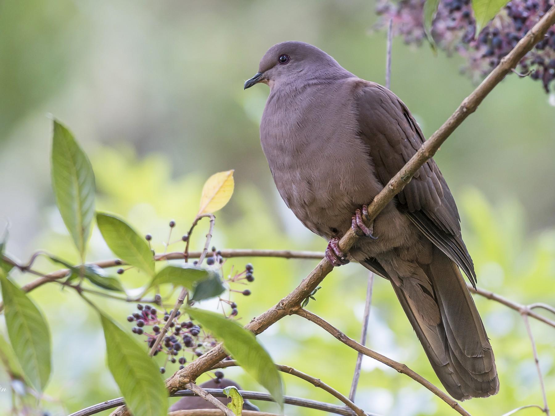 Ruddy Pigeon - fernando Burgalin Sequeria