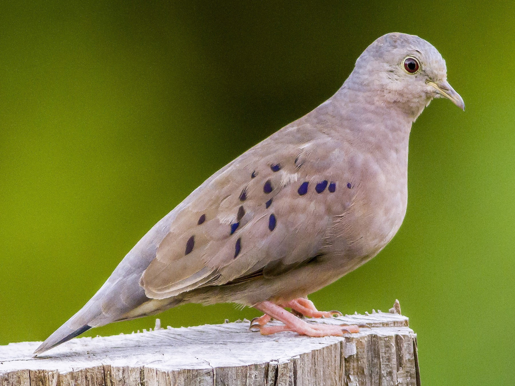 Plain-breasted Ground Dove - Carl Downing