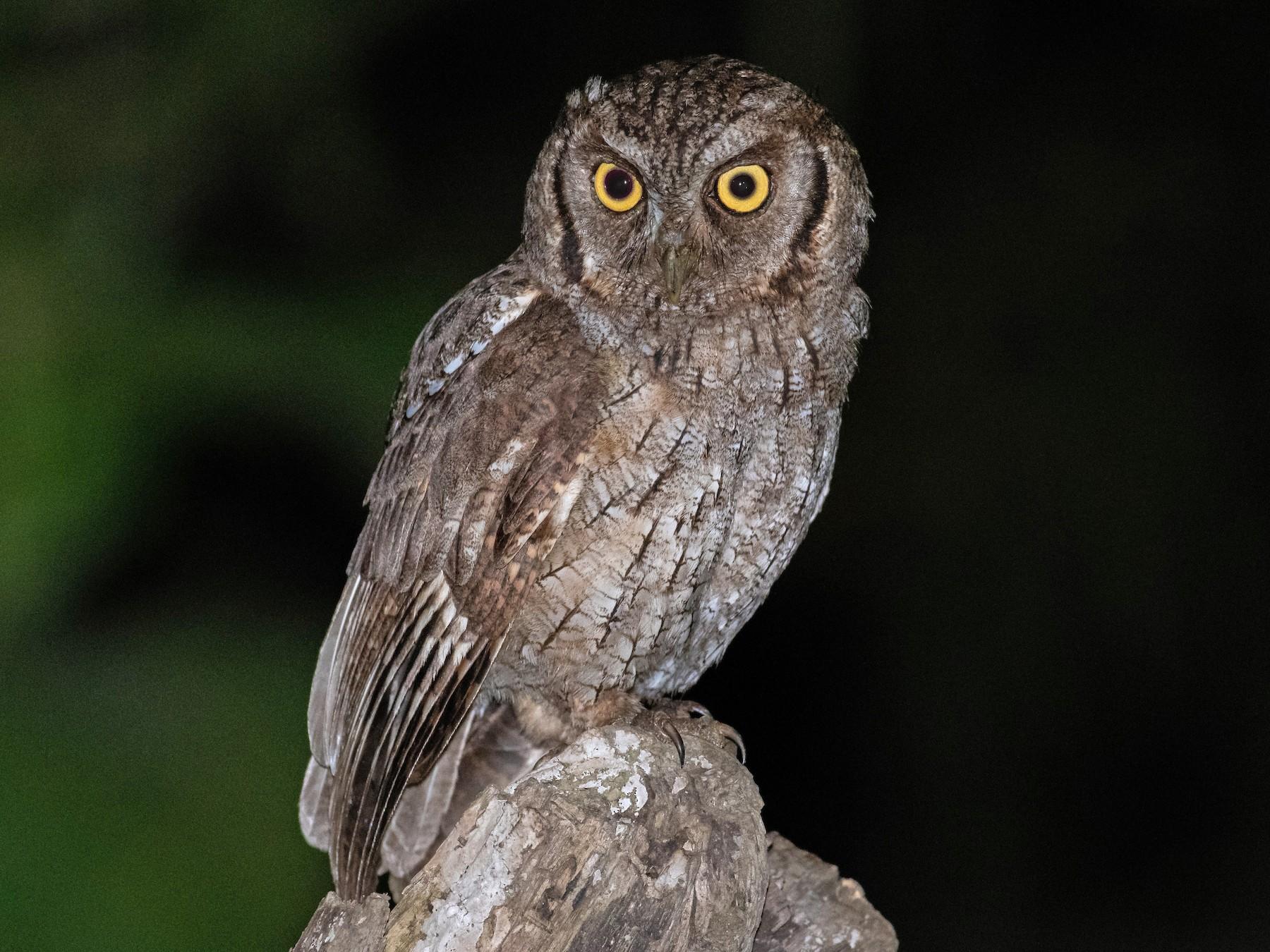 Tropical Screech-Owl - Rio Dante