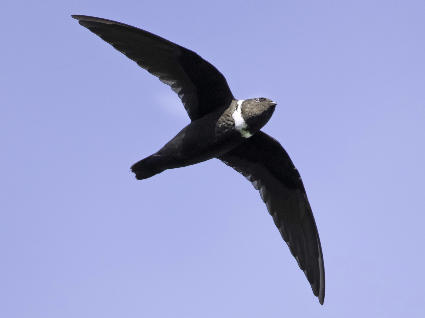 White-collared Swift - Oscar Ramirez Alan