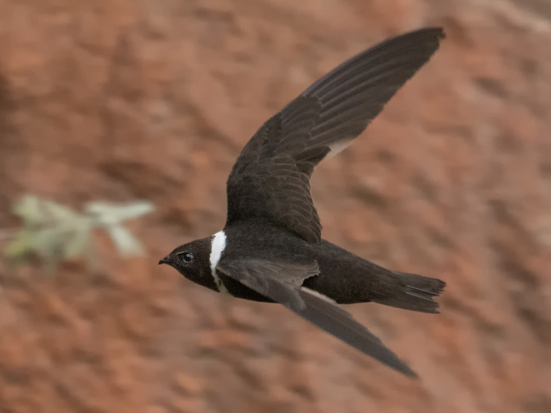 White-collared Swift - Andres Bianchi