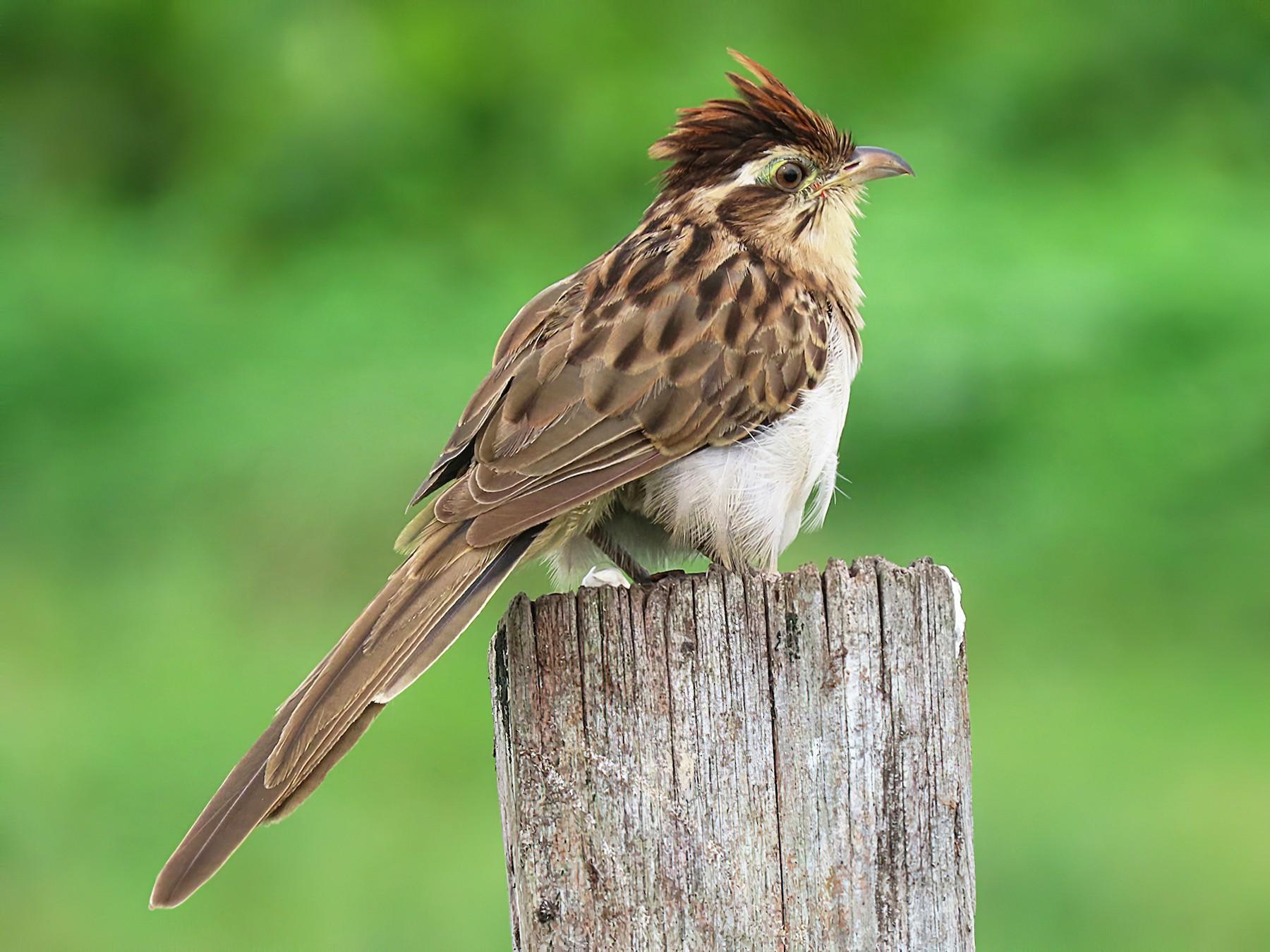 Striped Cuckoo - sylvain Uriot