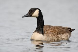 Canada Goose, ML321344481