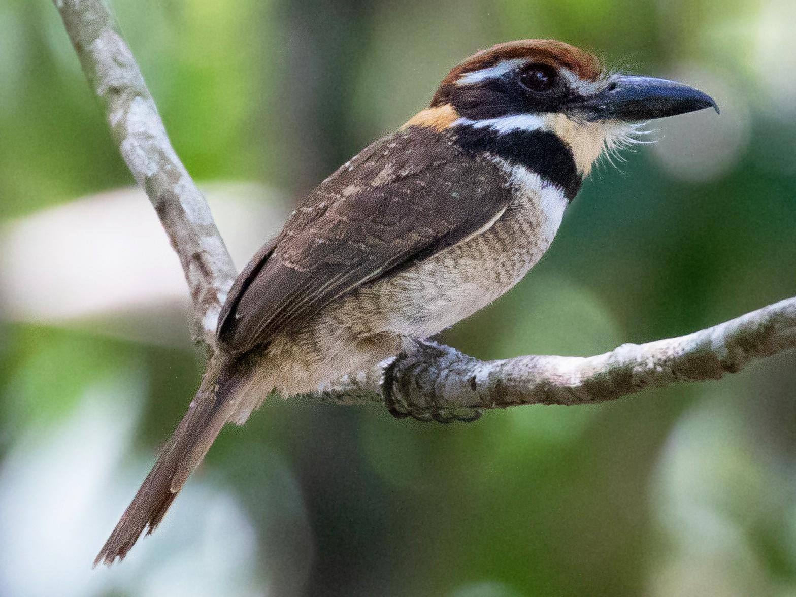 Chestnut-capped Puffbird - Thibaud Aronson