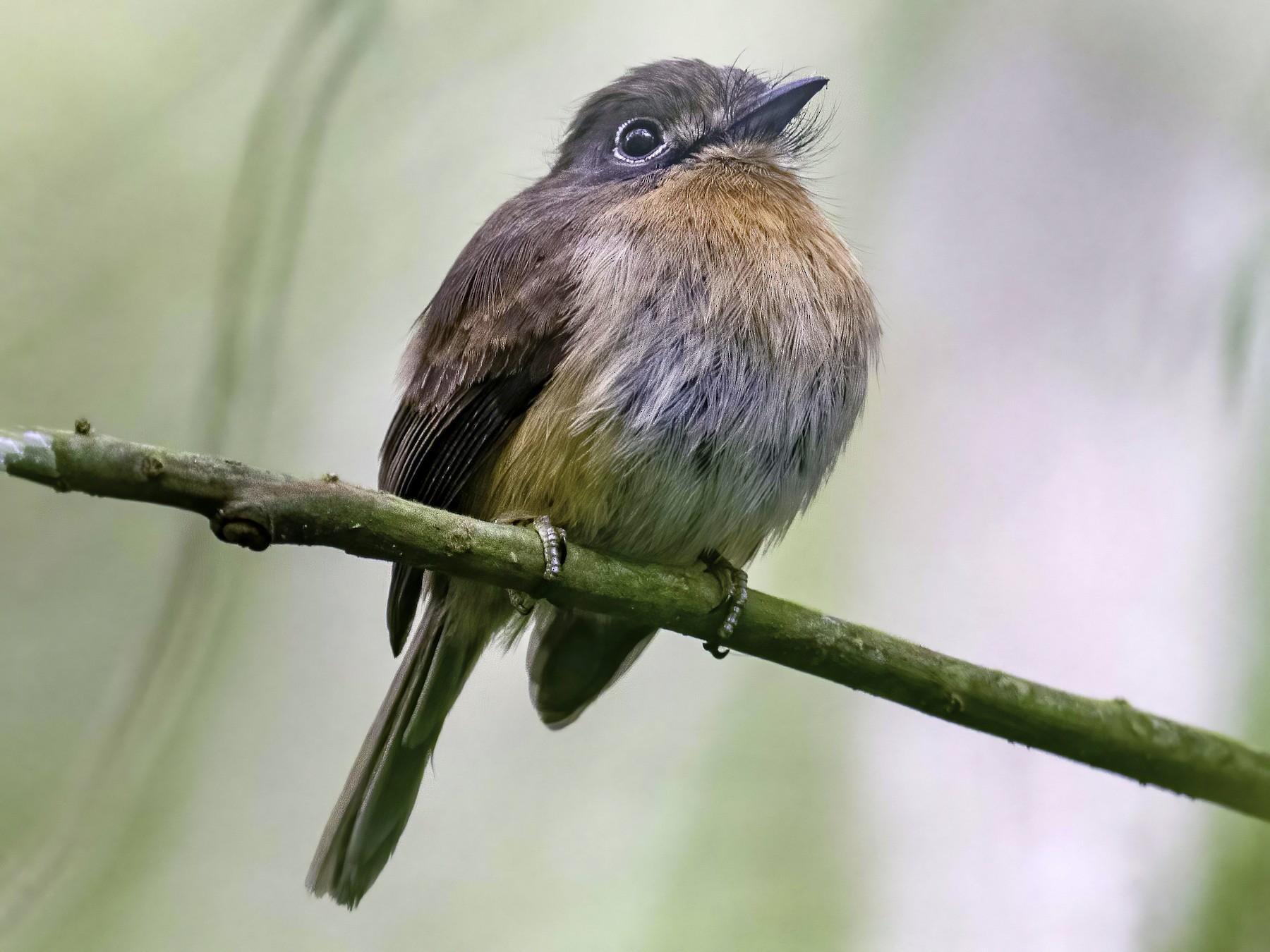 Rusty-breasted Nunlet - Hudson - BirdsRio