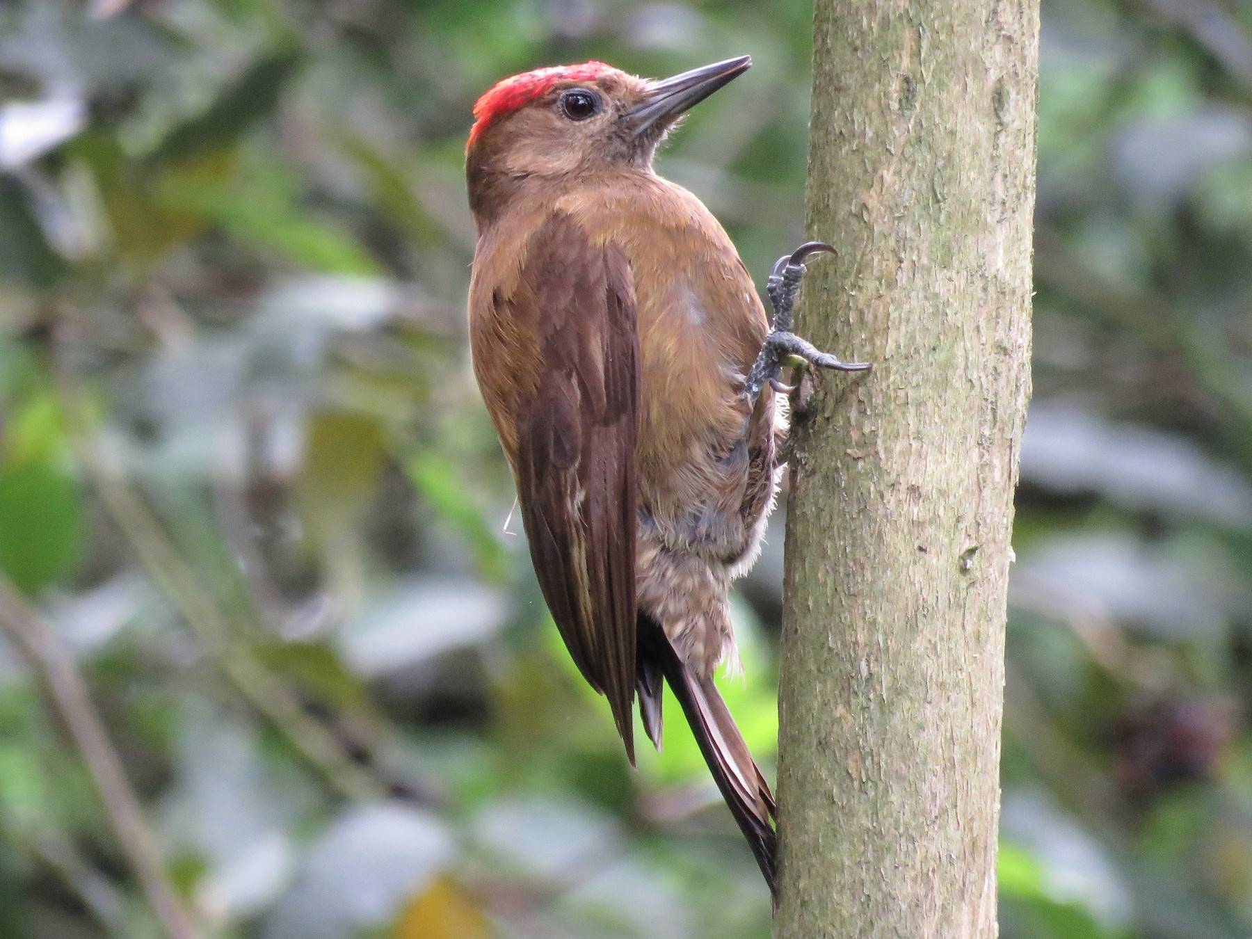 Smoky-brown Woodpecker - Timothy Forrester