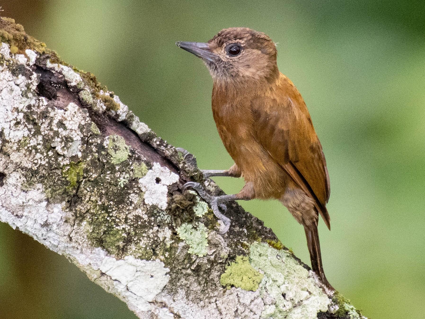 Smoky-brown Woodpecker - Ryan Andrews