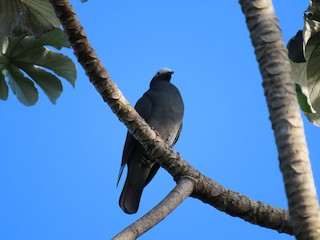 White-crowned Pigeon, ML321769401