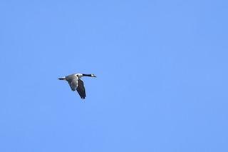 Canada Goose, ML321989451
