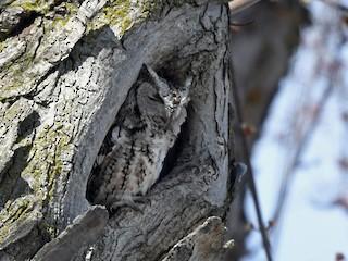 Eastern Screech-Owl, ML321989541