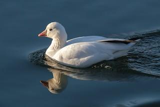 Ross's Goose, ML322069481