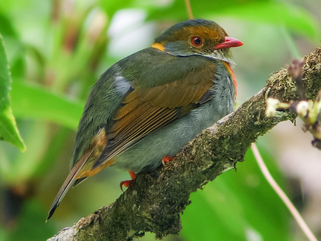 Red-banded Fruiteater - Nick Athanas