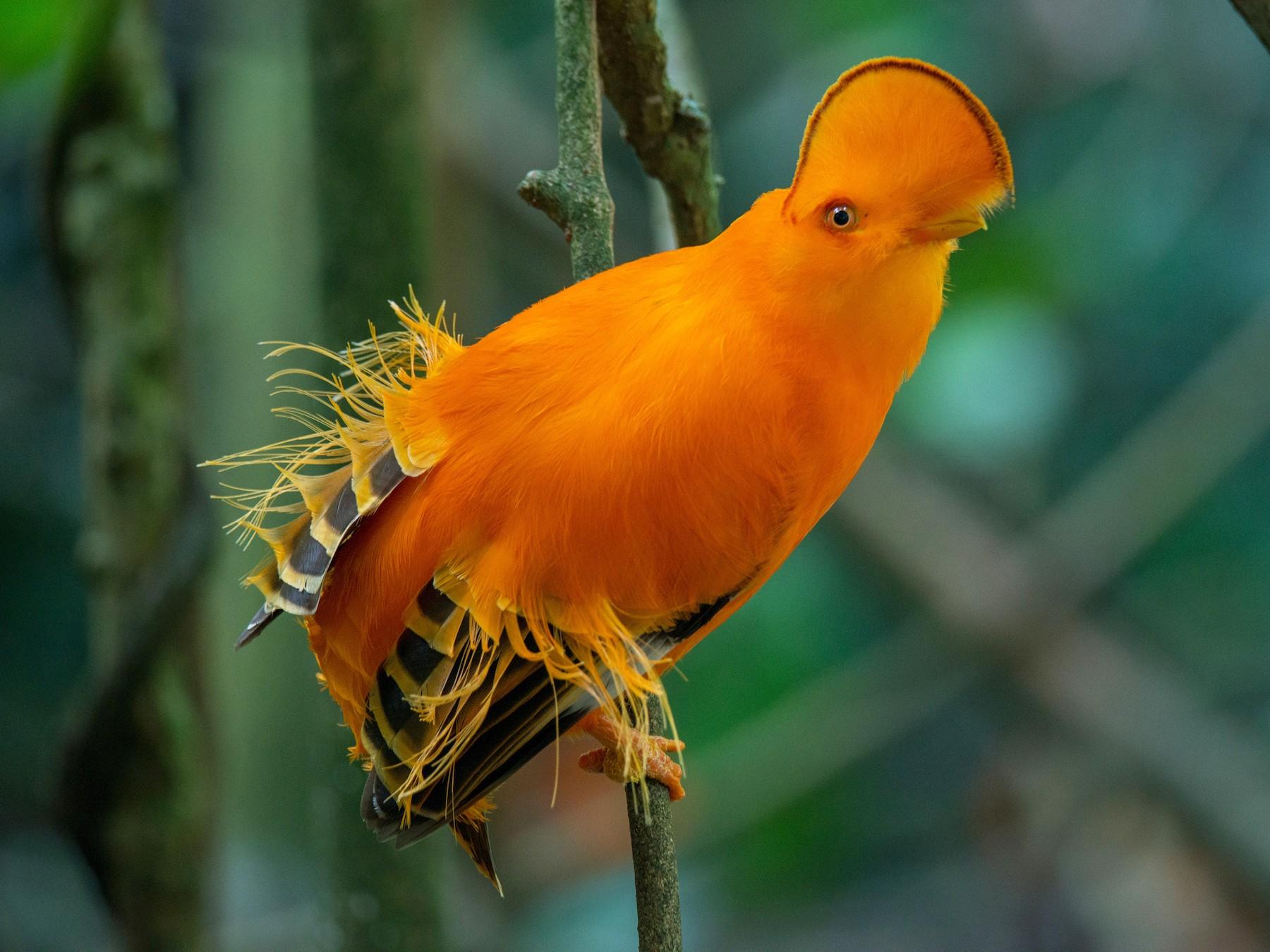 Guianan Cock-of-the-rock - John C. Mittermeier