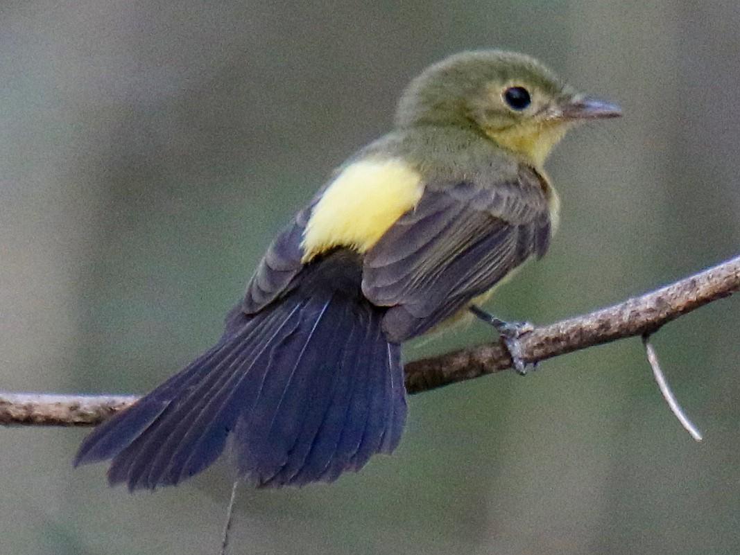 Black-tailed Flycatcher - Ian Thompson