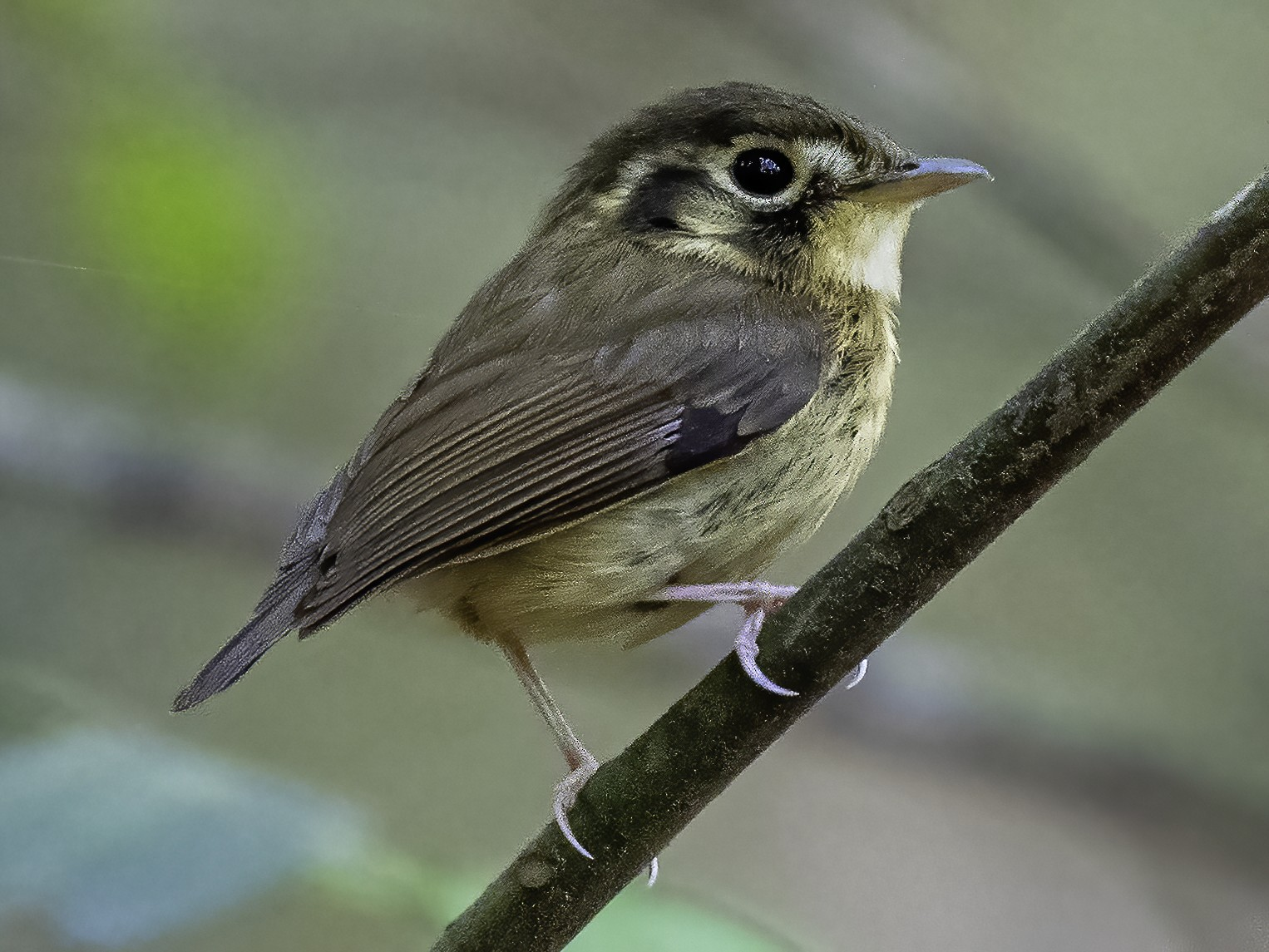 White-throated Spadebill - David Carmo