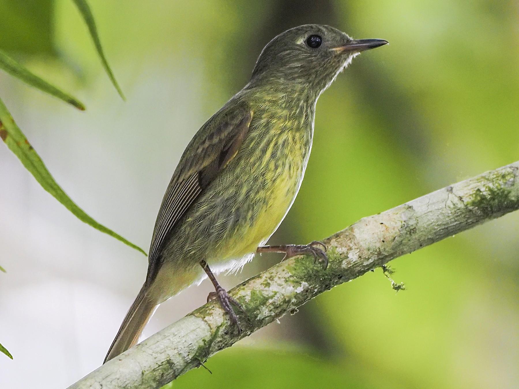 Olive-striped Flycatcher - Manolo Arribas